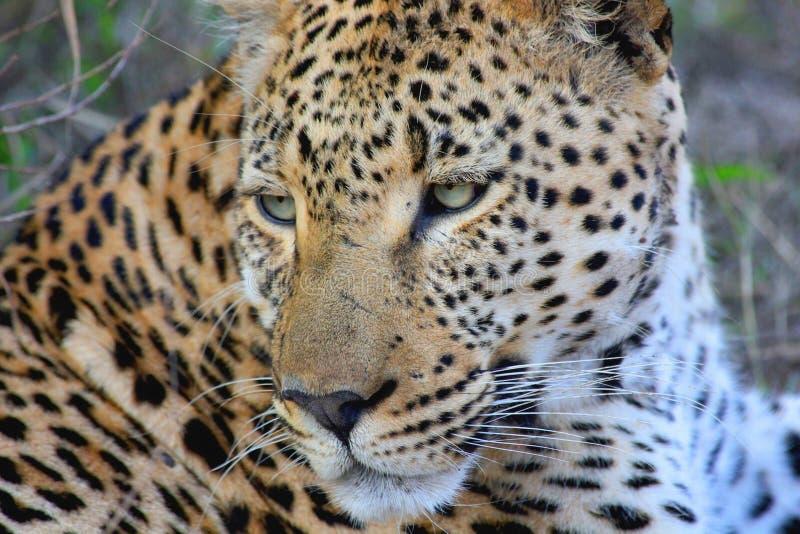 Leopard, wild lebende Tiere, terrestrisches Tier, Jaguar stockbild