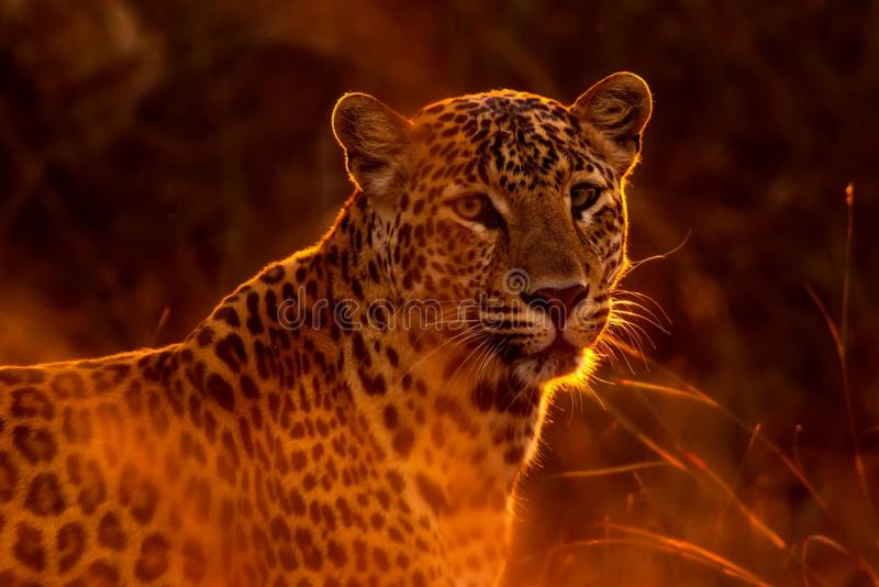 Leopard, Wildlife, Terrestrial Animal, Mammal royalty free stock photo