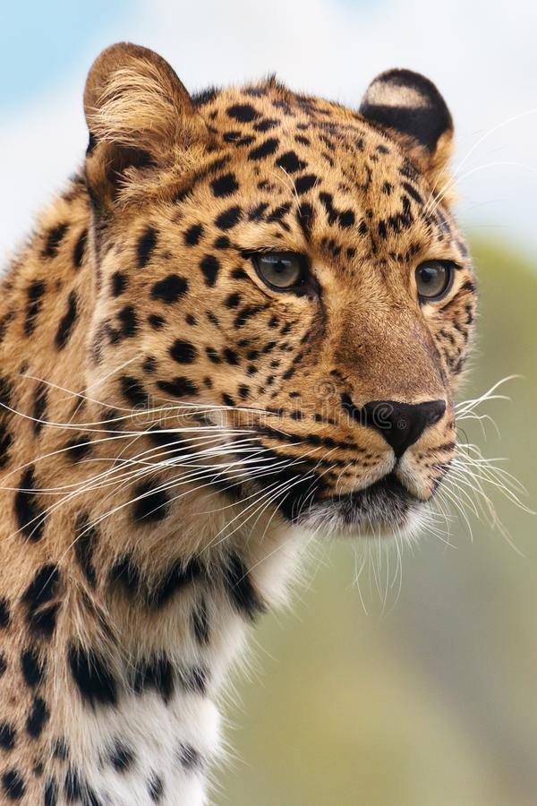Leopard, Wildlife, Terrestrial Animal, Mammal royalty free stock images