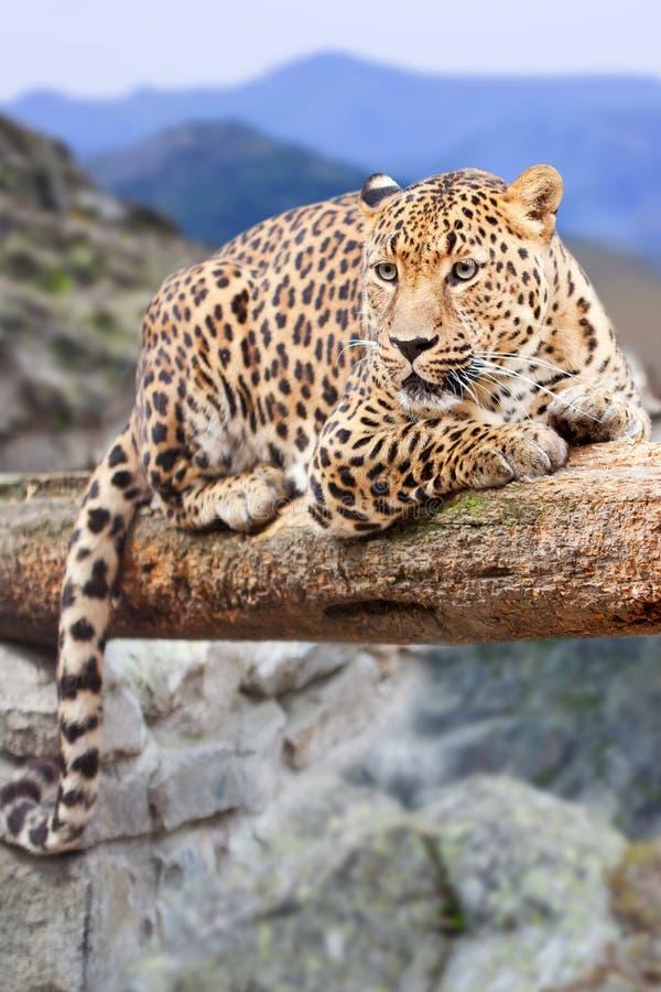 Leopard am Wildneßbereich stockfotografie