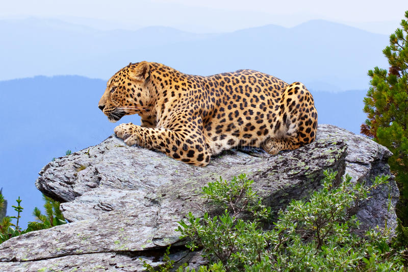 Leopard at wildness area stock image