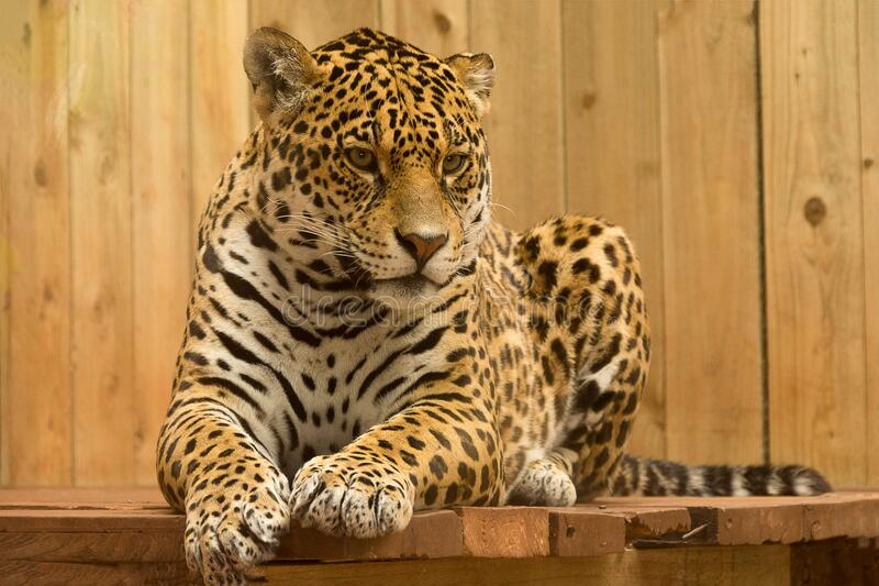 Leopard on wooden perch royalty free stock image
