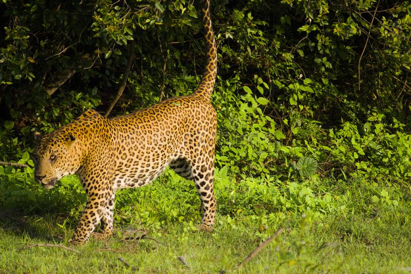 Leopard at Yala National Park , Sri Lanka. A leopard looking for food at sunrise in Yala National Park, located in Sri Lanka stock photos