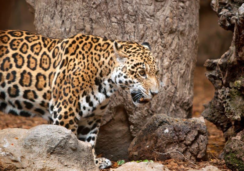 Leopard in a zoo Loro Parque. Tenerife, Spain stock photos
