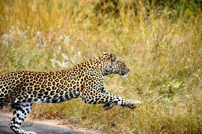 Leopardbanhoppning royaltyfria foton