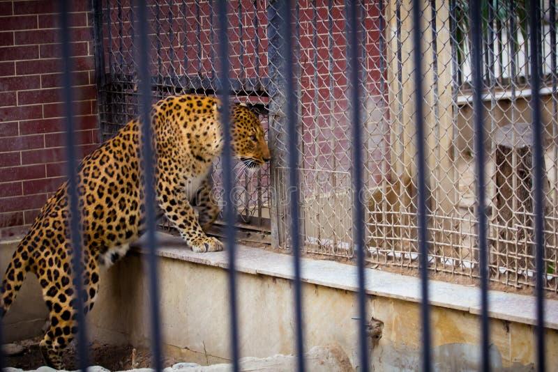 Leoparden tigern, djuret, katt, zoo-parkerar, arbeta i trädgården royaltyfria foton