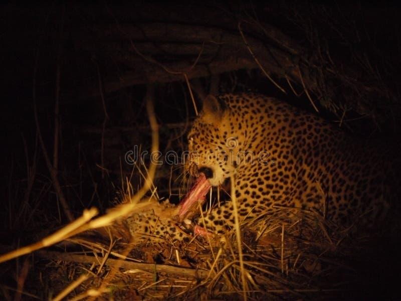 Leopardfütterung lizenzfreie stockfotos