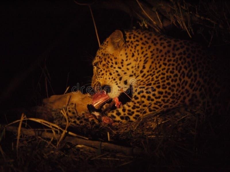 Leopardfütterung stockbild
