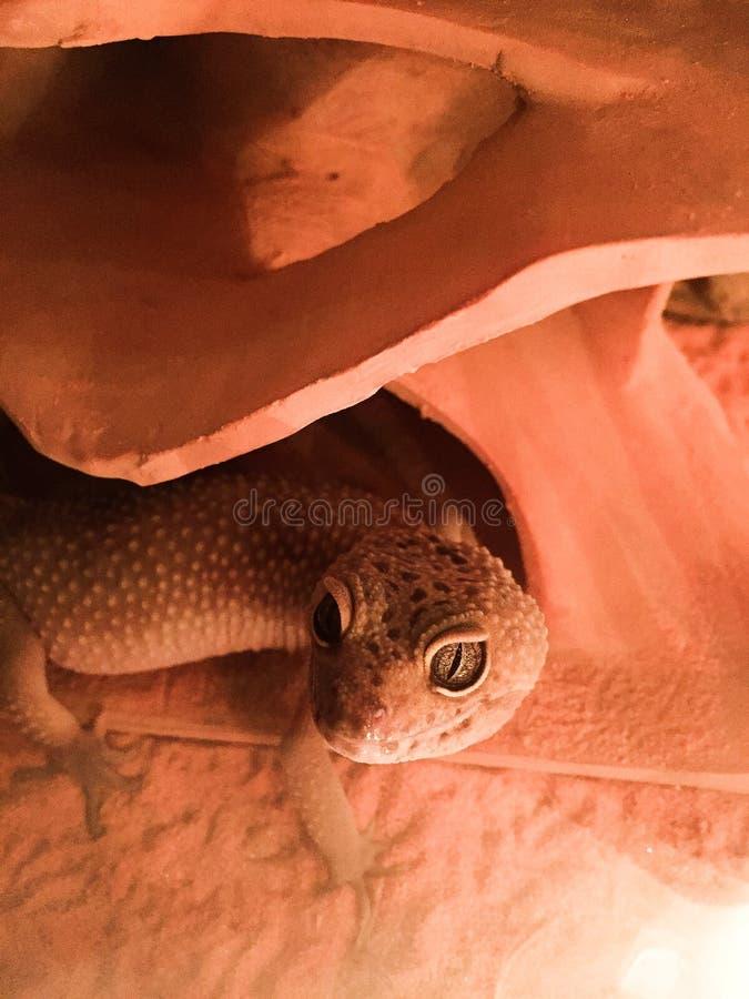 Leopardgecko arkivfoton