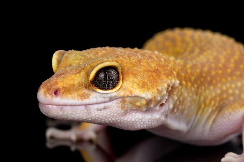 LeopardGecko stockfotografie