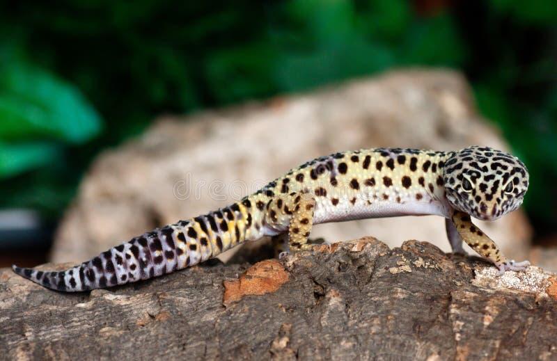 LeopardGecko royaltyfria foton