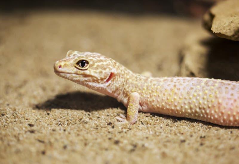 Leopardgecko arkivfoto