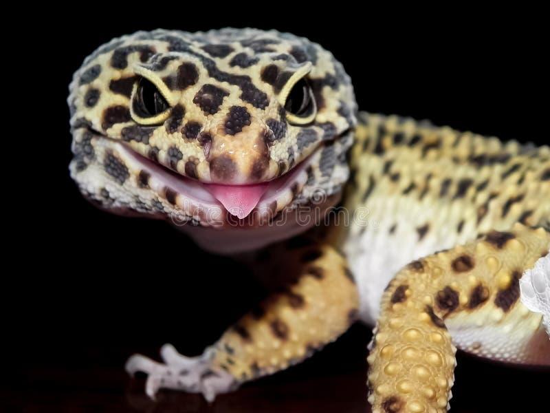 Leopardgeckon med svarta och gula fläckar stänger sig upp med tungan som ut klibbar royaltyfria bilder