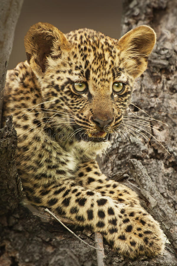 Leopardgröngöling royaltyfria bilder