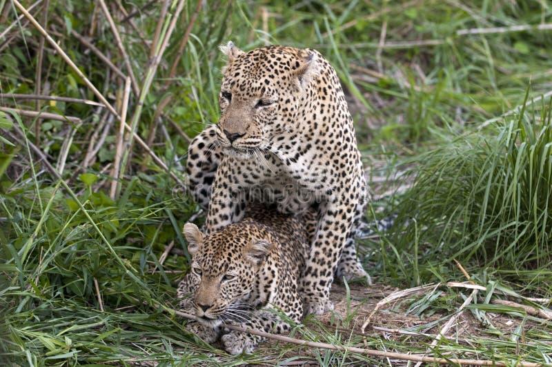 Leopardi accoppiamento fotografia stock libera da diritti