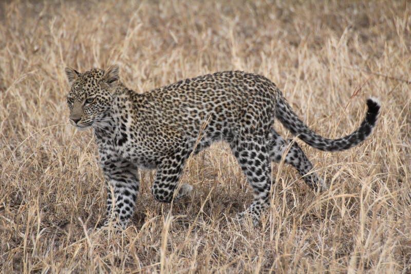 Leopardjakt i grässlätten royaltyfri foto