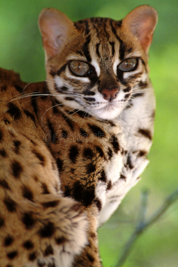 Leopardkatt, Felis Bengalennsis, Sarawak, Malaysia arkivbild