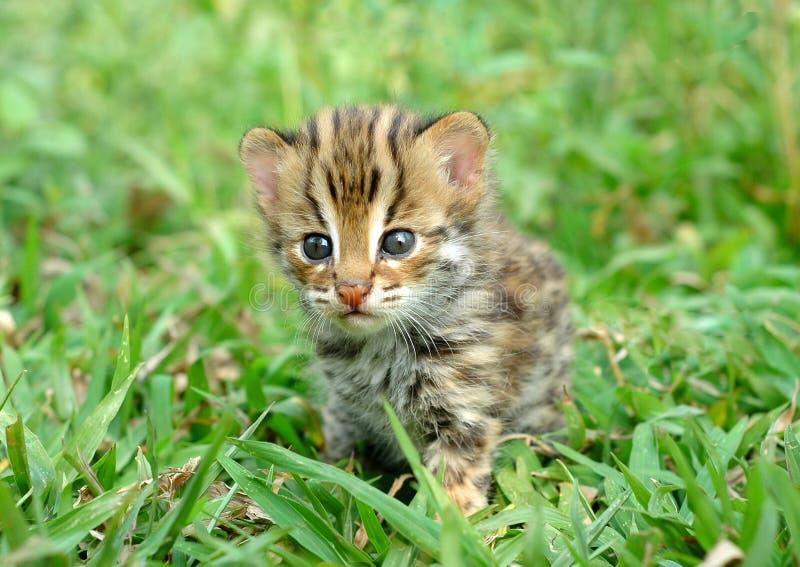 Leopardkatze stockbild