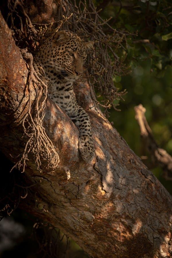 Leopardlügen im Baum, der unten unten schaut lizenzfreie stockfotografie