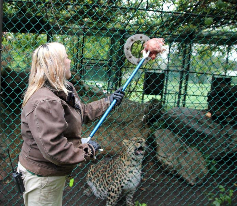 Leopardmatning royaltyfri fotografi