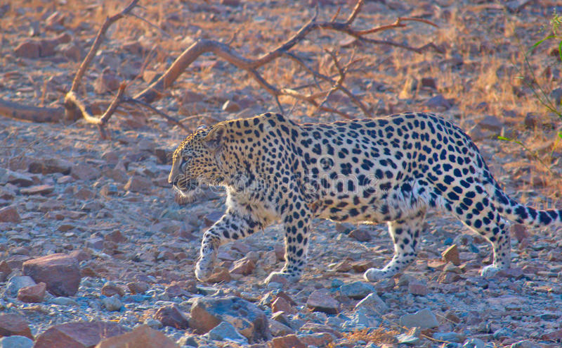 Leopardo árabe fotografia de stock