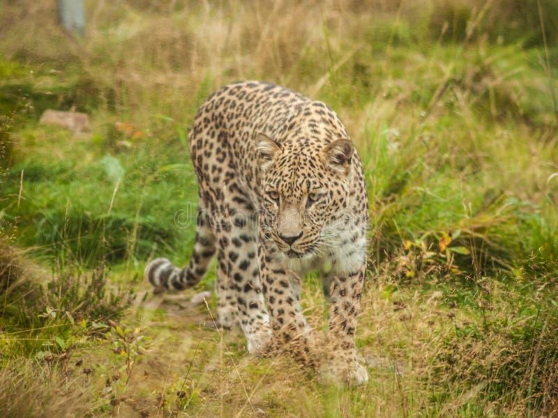 Leopardo 1 foto de archivo libre de regalías