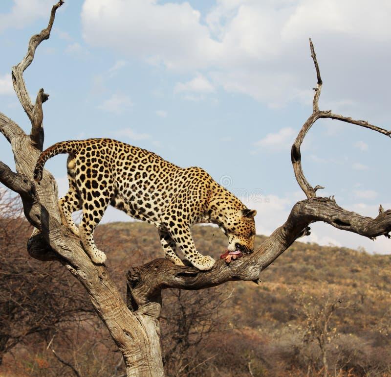Leopardo imagem de stock royalty free