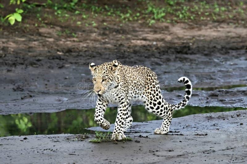 Leopardo imagen de archivo