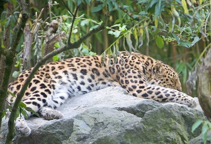 Leopardo 3 del Amur immagini stock libere da diritti