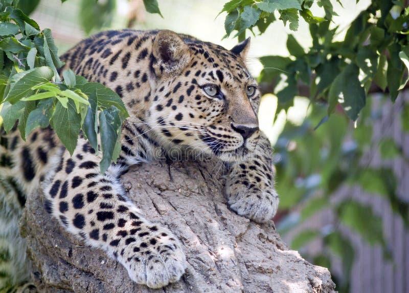 Leopardo fotografie stock libere da diritti