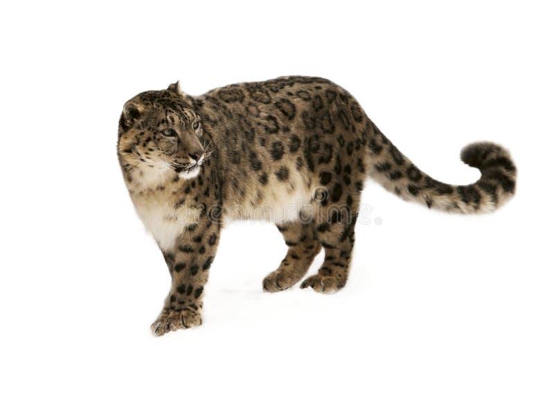 Leopardo. imágenes de archivo libres de regalías