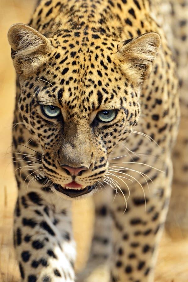 Download Leopardo imagen de archivo. Imagen de kenia, habitat - 44851619