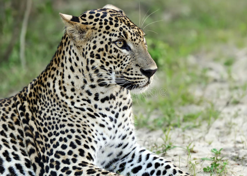 leopardo foto de stock