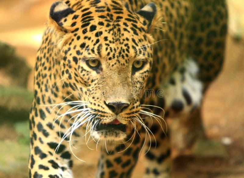 Leopardo immagine stock libera da diritti