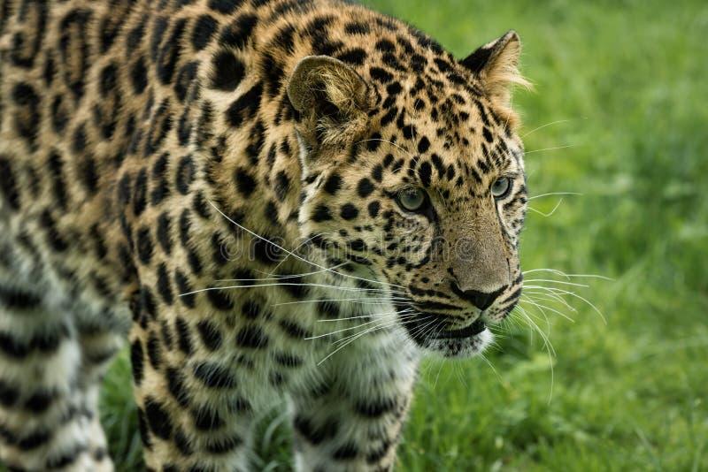 Leopardo foto de archivo libre de regalías