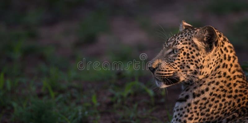 Leopardo acceso punto nel profilo fotografie stock