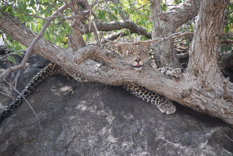 Leopardo adorabile fotografie stock