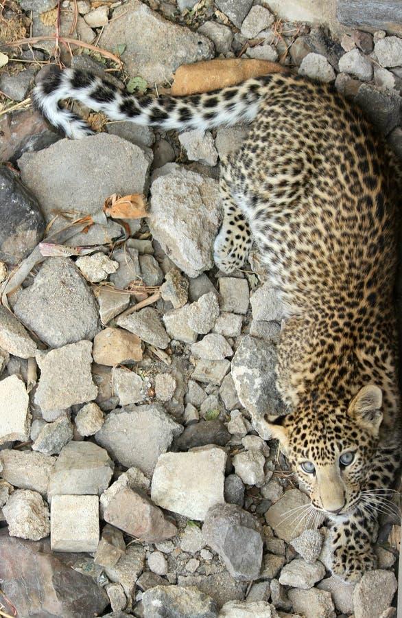 Leopardo - adulto sub fotos de archivo libres de regalías