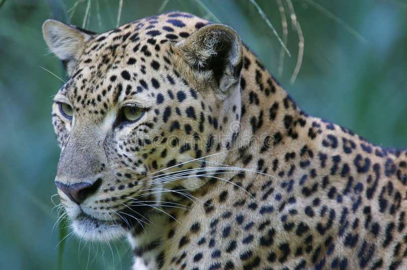 Leopardo africano fotos de stock royalty free