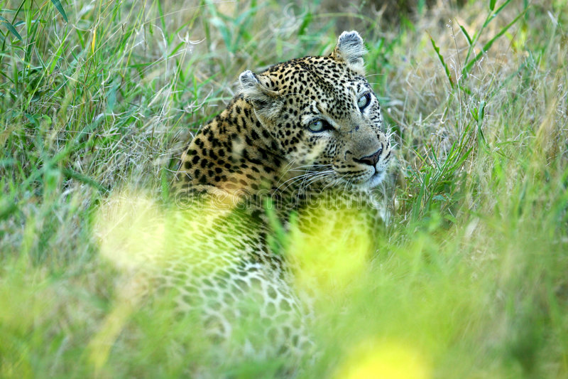 Leopardo africano imagem de stock royalty free