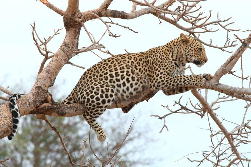 Leopardo africano immagine stock libera da diritti
