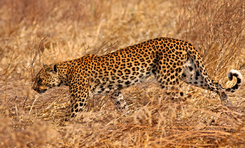 Leopardo africano fotografia stock libera da diritti