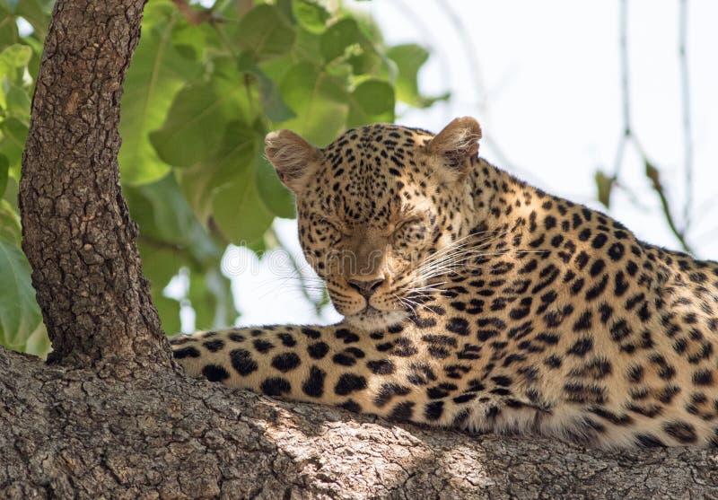 Leopardo africano che dorme su un grande ramo di albero nel parco nazionale del sud di Luangwa, Zambia fotografia stock