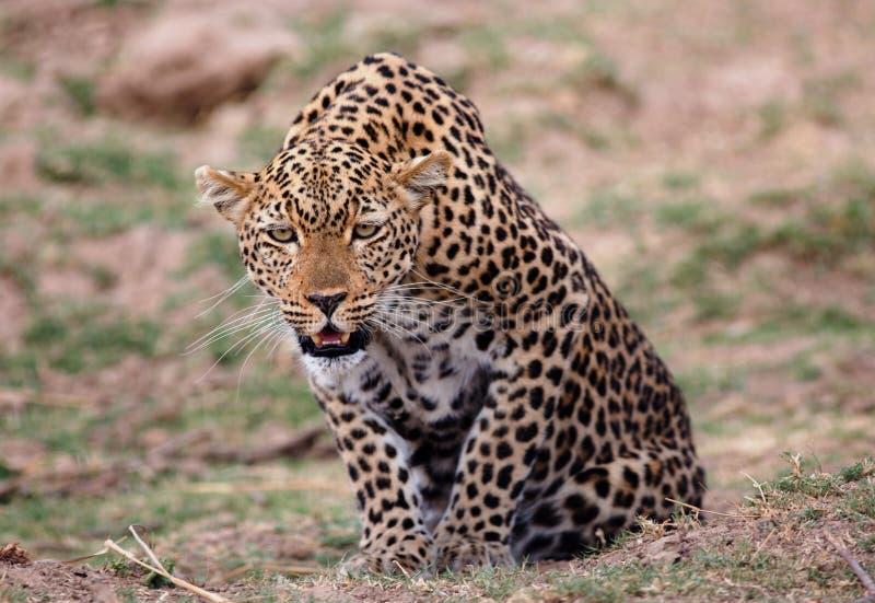 Leopardo africano con gli occhi che fissa avanti a qualcosa nella distanza fotografie stock libere da diritti