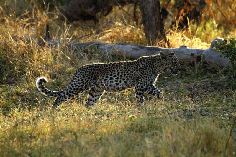 Leopardo africano Cub immagine stock libera da diritti