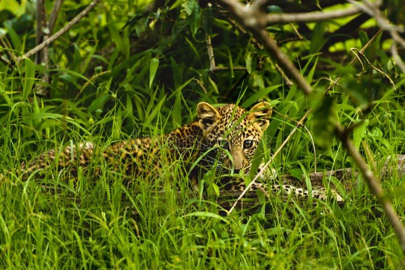 Leopardo africano do bebê que senta-se na grama no parque Afric sul de Kruger imagem de stock royalty free