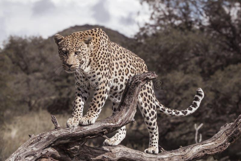 Leopardo africano en una rama de un árbol fotografía de archivo libre de regalías