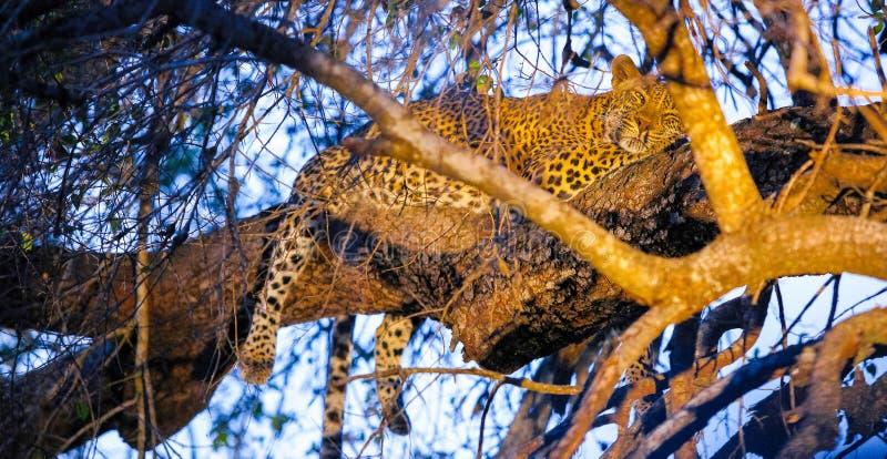 Leopardo africano que duerme en un árbol foto de archivo