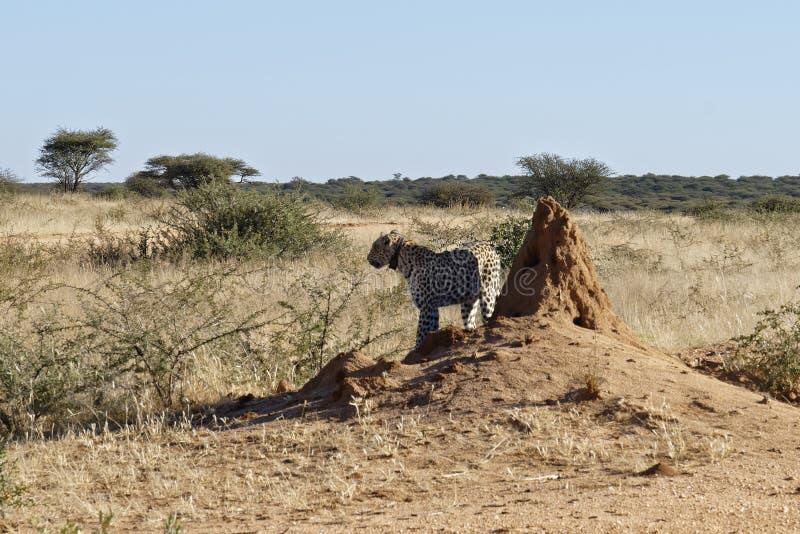 leopardo africano Radio-messo un colletto che osserva fuori attraverso il cespuglio da ombra del monticello della termite la rise immagini stock