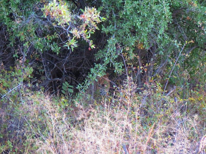 leopardo africano Radio-seguito che hidding nel cespuglio denso e spesso alla riserva naturale di Okonjima, Namibia fotografia stock libera da diritti